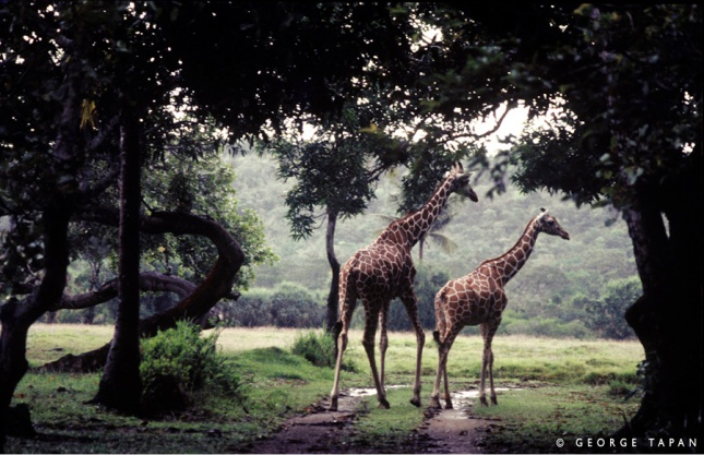 Enjoy African wildlife at Calauit, Palawan.